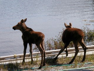 twin moose Homer Alaska